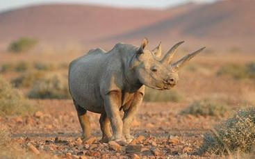 black rhino alamy