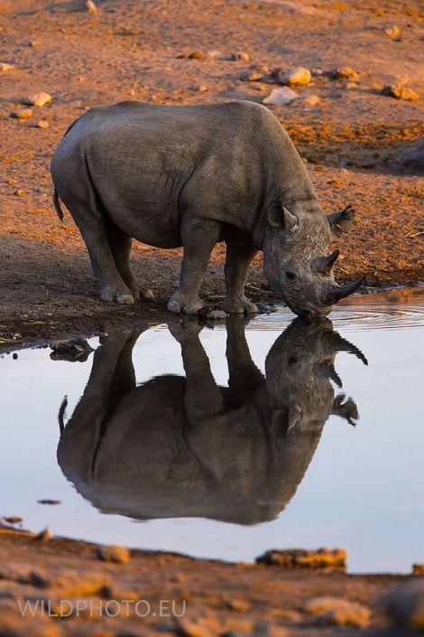 black rhino by jan hrbacek