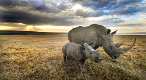 Rhino and babe by chris minihane