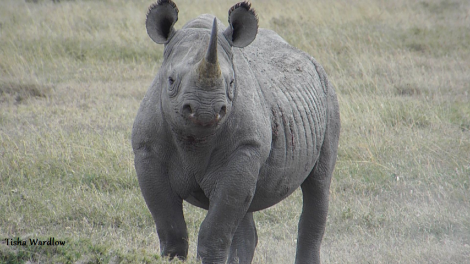 Tisha OPC rhino 1