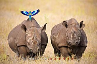 rhinos with lilac breasted roller