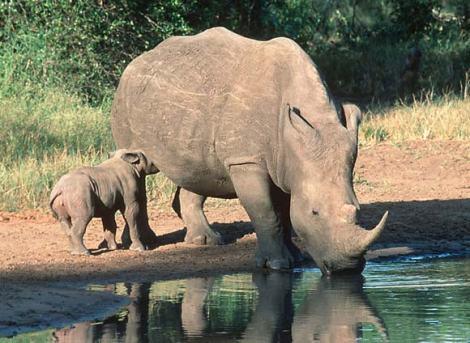 white rhino with baby by martin harvey