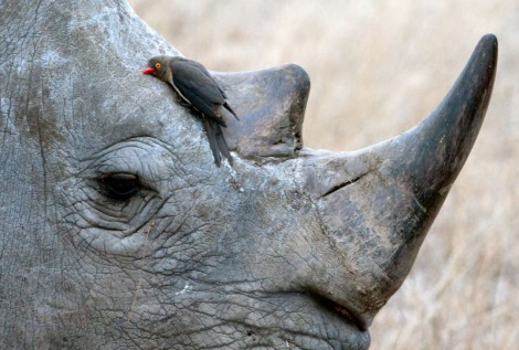 rhino and oxpecker close up michael moss
