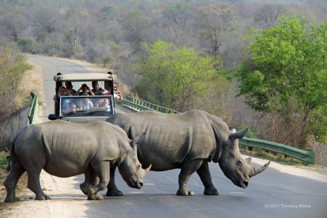 rhino crossing at kruger by marla sink druzgal