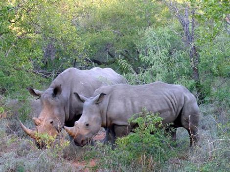 rhinos in kzn