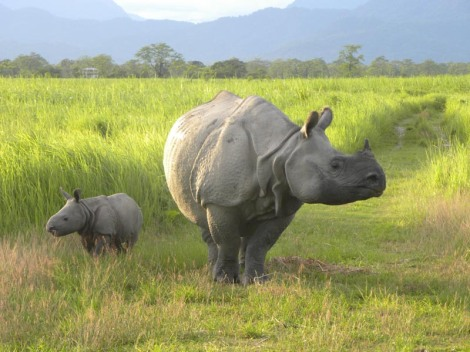 rhino mom and baby manas by wwf india 2015