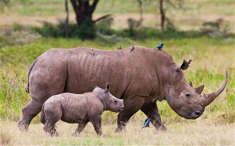 white rhino mom and baby with birds kruger AP photo
