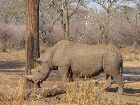 mabuya the blind rhino