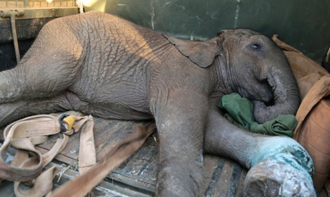 baby ele in poach snare dswt