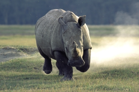 rhino charge white