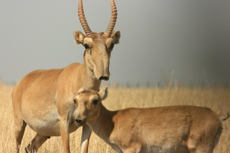 saiga antelope by darwin initiative