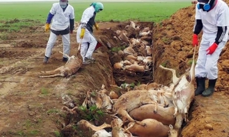 saiga antelope dieoff