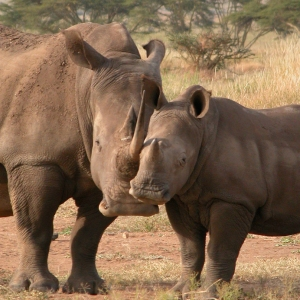 white rhino duo at Lewa