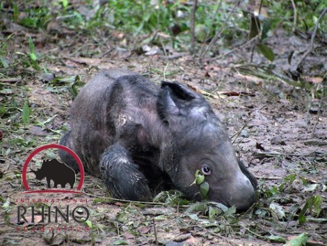 baby sumatran international rhino foundation