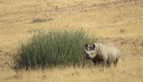 black rhino in etosha via namibiansun