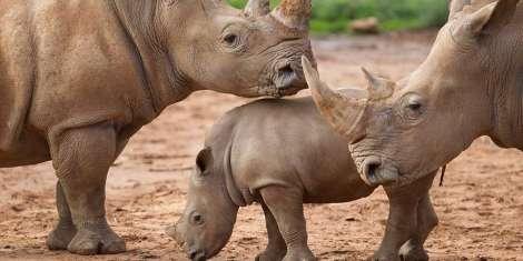 monarto zoo 2 rhinos