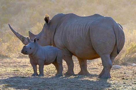 Female white rhino with calf. Photo: Kruger Park