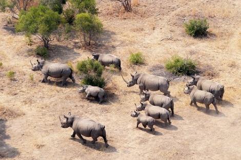 rhino herd