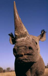 rhino long horn by wwf