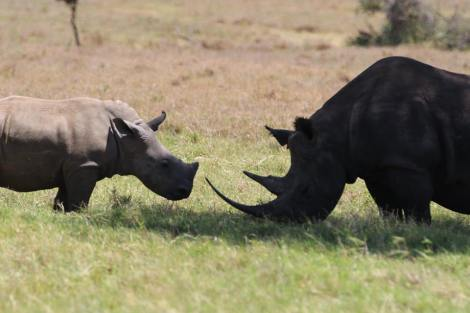 white and black meet at lewa april 2016 3