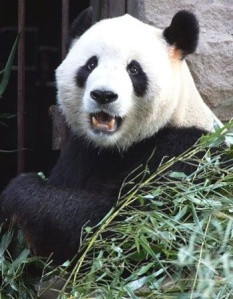 gugu panda