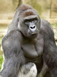 harambe zinci zoo