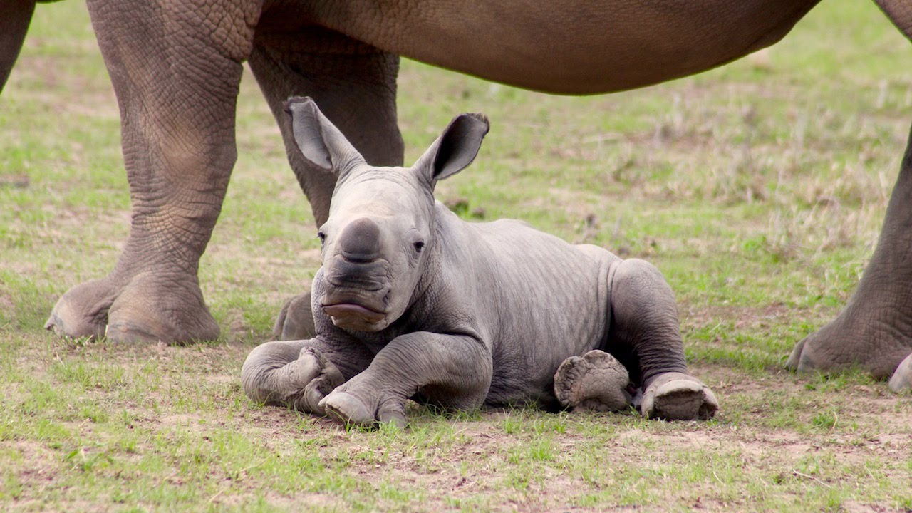 Baby Rhino Gives Sudan New Lease On Life Fight For Rhinos