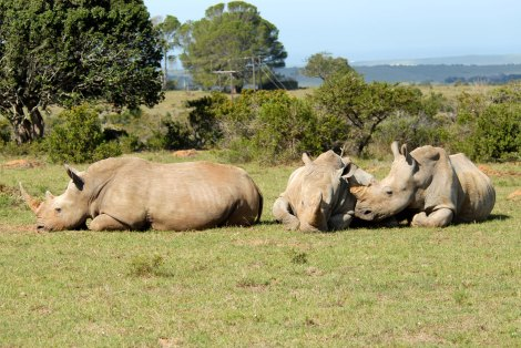 chilling-rhinos
