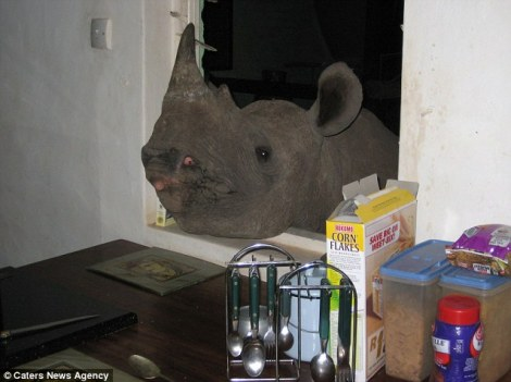 Jimmy rhino at kitchen window by caters news agency