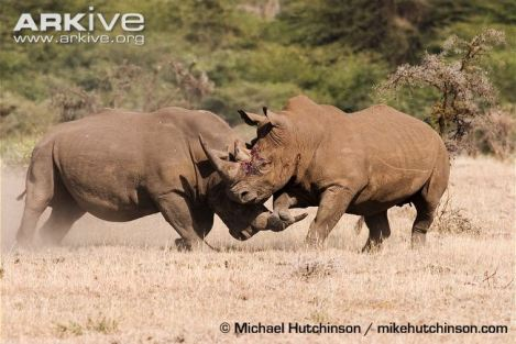black rhino fight 1