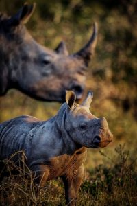 rhinos-by-chris-fischer