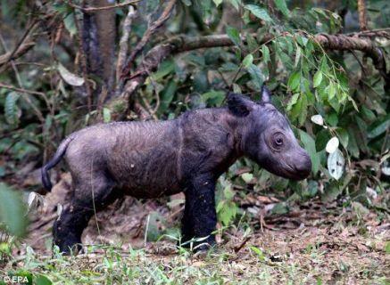 baby-sumatran