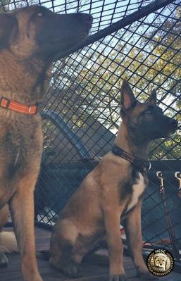 hesc-dogs