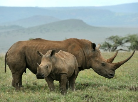 Keywords: stock, rhinoceros, wildlife, southern white rhino confirmed wild by iStockphoto 10/2013